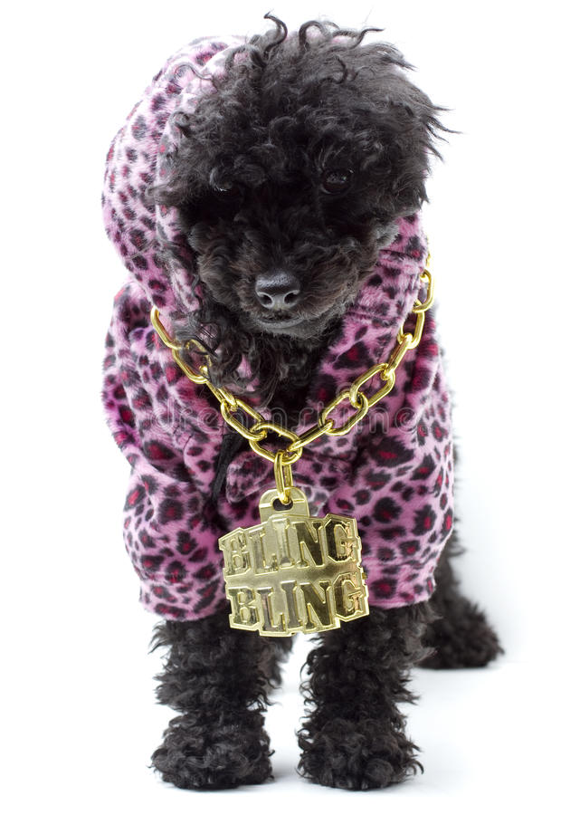 Bling Bling Puppy. A puppy wearing a pink leopard print hoodie and a gold chain necklace with Bling Bling on it, isolated on a white background stock images