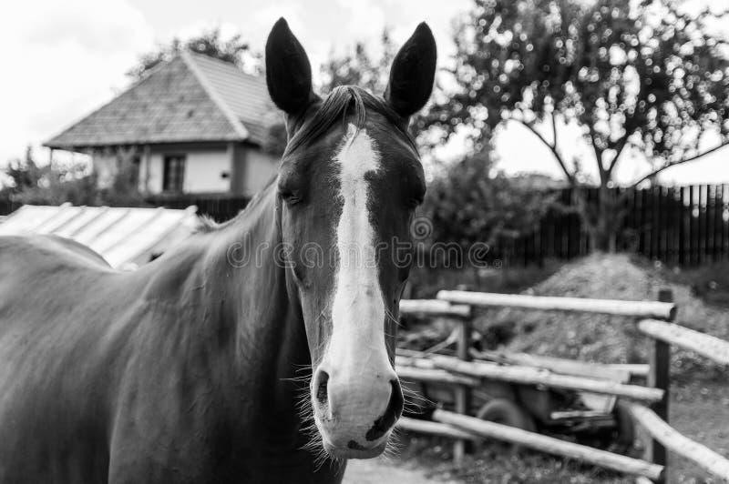 Blinka rolig monokrom bild för häst royaltyfri fotografi
