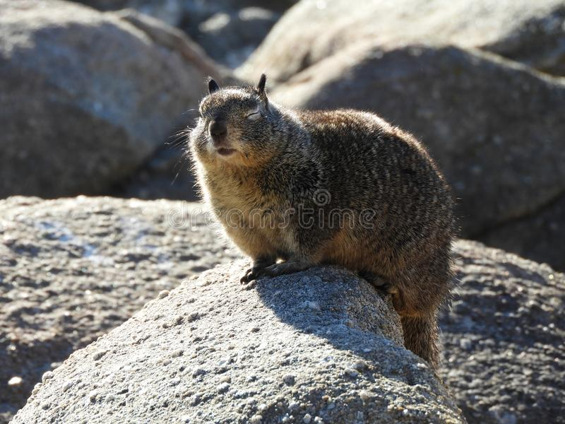 California Ground Squirrel with Eyes Shut. Chubby ground squirrel with eye closed as it blinks, while perched on a rock sunbathing stock images