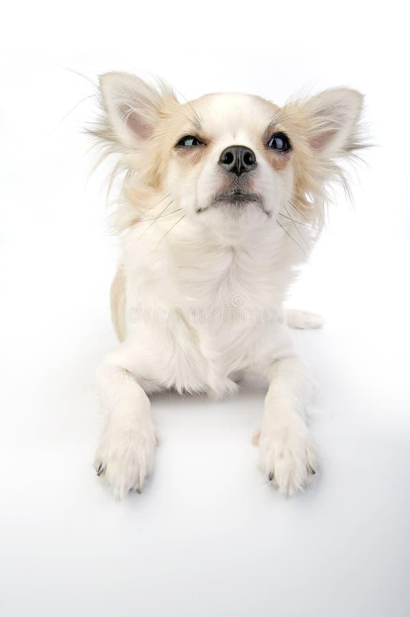 Blinzeln des Chihuahuawelpen, der auf Weiß liegt stockfotos