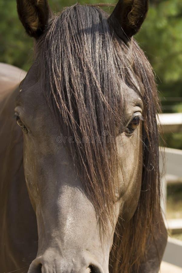 blisko arabskiej koń, obrazy royalty free