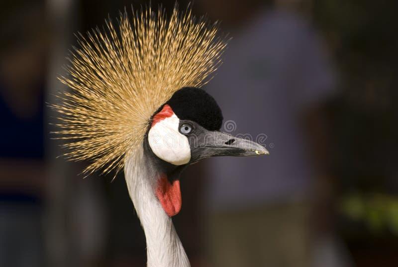 blisko crane crown grey, obrazy stock