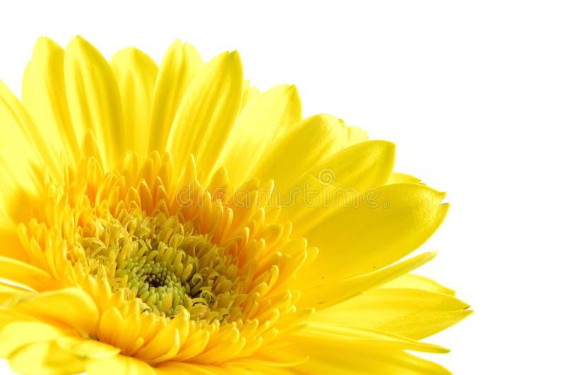 blisko daisy gerber do żółtego zdjęcie stock
