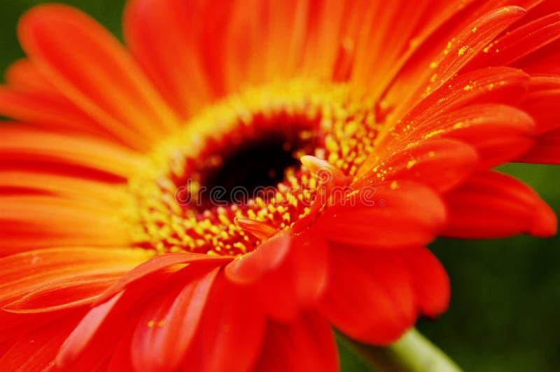 blisko gerbera pomarańczy, zdjęcia stock
