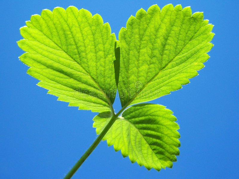 blisko green leafs truskawkowe, zdjęcia royalty free