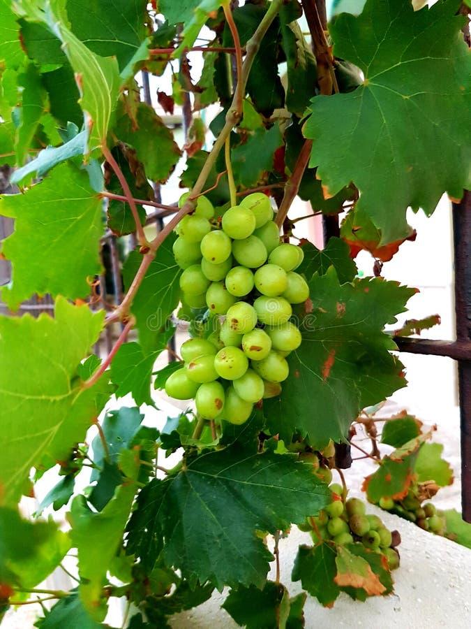 blisko klastrów w górę białych winogron zdjęcie royalty free