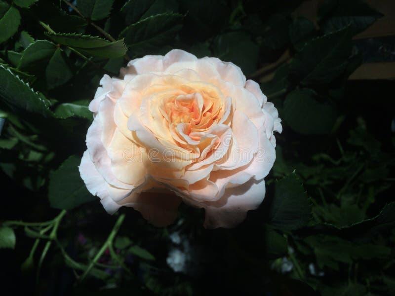 blisko kwiat w bieli zdjęcie royalty free