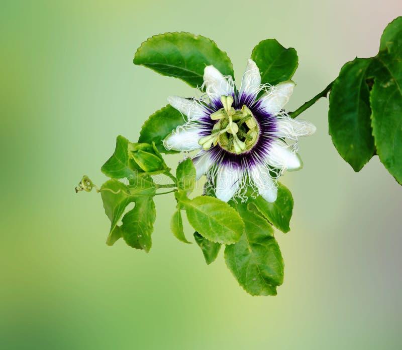 blisko passiflora zdjęcie stock