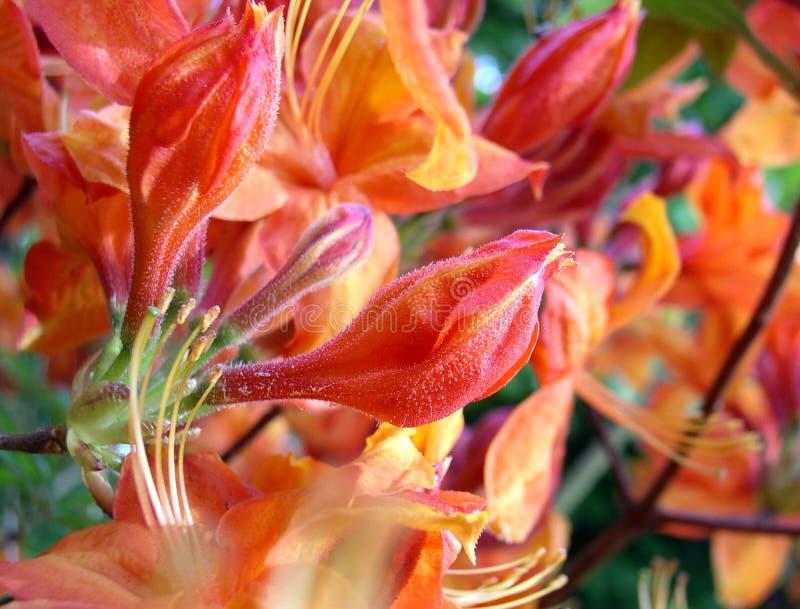Blisko Pomarańczowej Czerwonym Różaneczniki. Obrazy Royalty Free