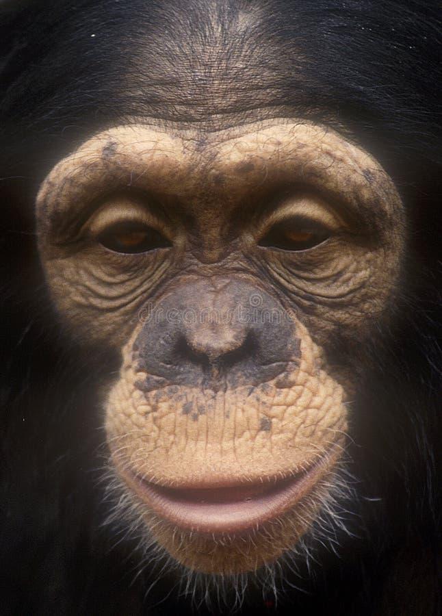 blisko powierzchni ziarna szympansa. fotografia royalty free