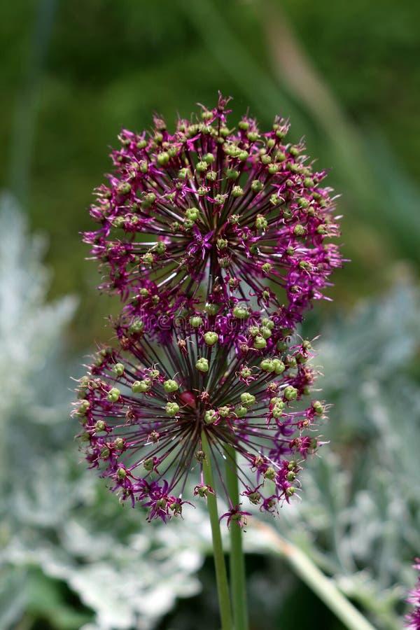 Blisko r dwa Allium lub Ornamentacyjne cebulkowe round kwiatu głowy komponujących tuziny stronniczo otwarta gwiazda kształtował ś fotografia stock
