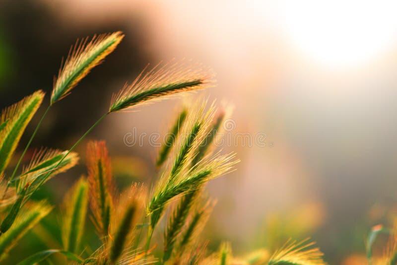 blisko uszu dojrzewa żyta, obraz stock