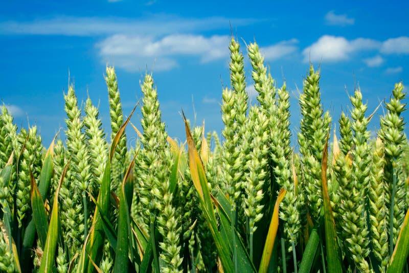 blisko uszu niebo w pszenicy obrazy stock
