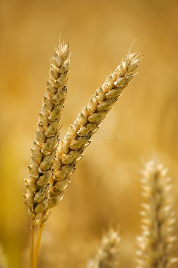 blisko uszu, pszenicy fotografia stock