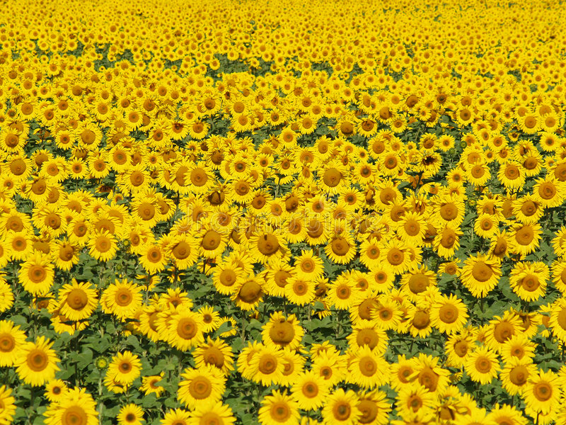 Blissful field of sunflowers #3 stock photography
