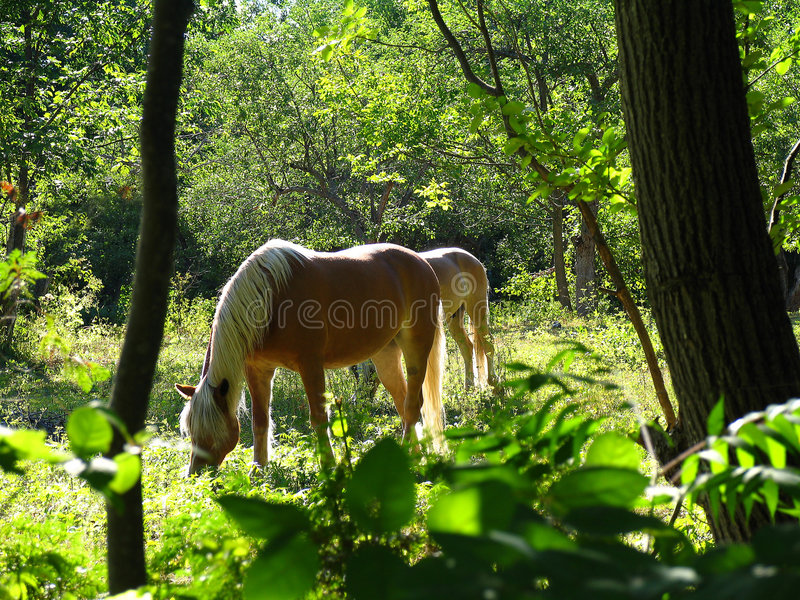 Blissfully grazing. Two horses grazing in a secret meadow stock photos