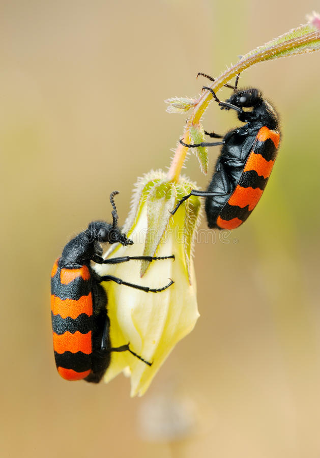 Blister beetles on a flower stock photos