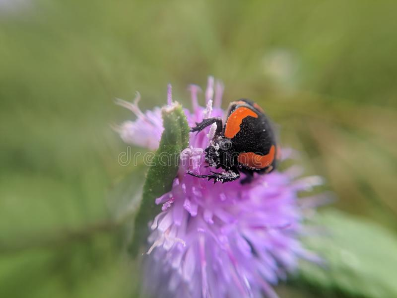 Blister beetles on a flower. Poisonous blister beetles royalty free stock image