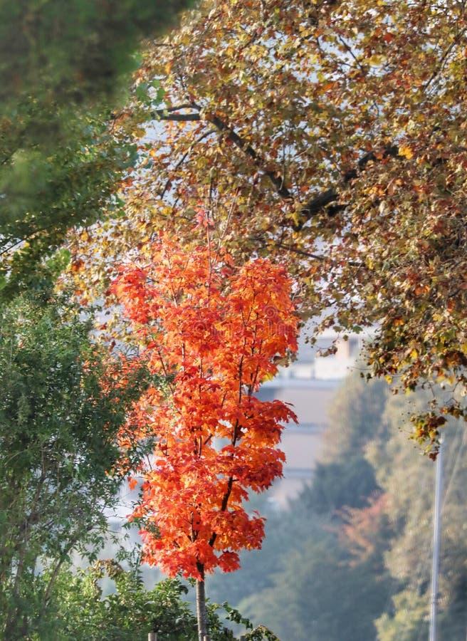 Blitzrot im Herbst stockbild