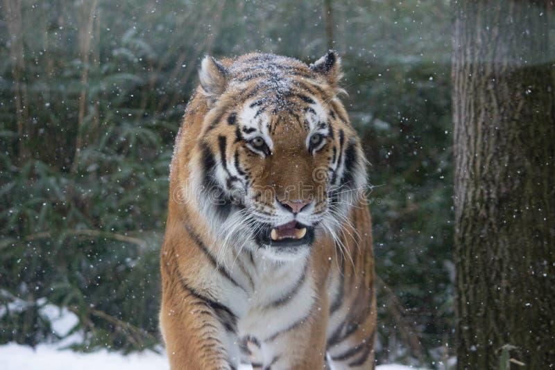 Blizzard Cat. Winter storm Juno roars into the northeast corridor with all it's ferocity Jan 26 2015 Bronx Zoo New York stock image