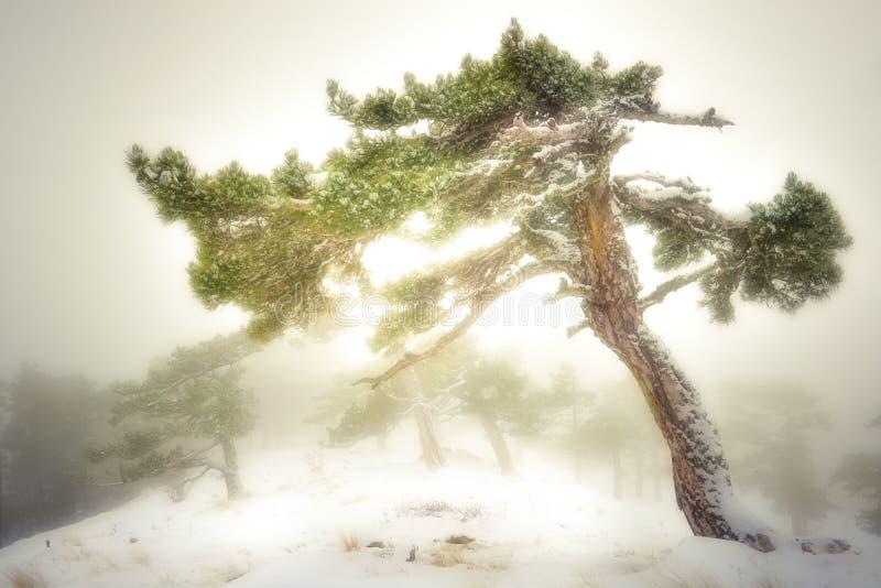 Blizzard im Hochland und in Schnee-mit einer Kappe bedecktem Bergkiefer stockfotografie