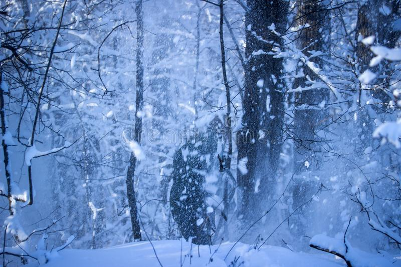 Blizzard in the mysterious winter forest in the evening stock photo