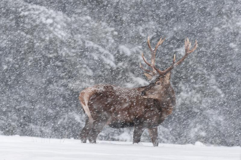 Blizzard. Viripotent Noble Red Deer With Big Horns, Beautifully Turned Head. European Wildlife Landscape With Deer Stag. Portrait stock photography