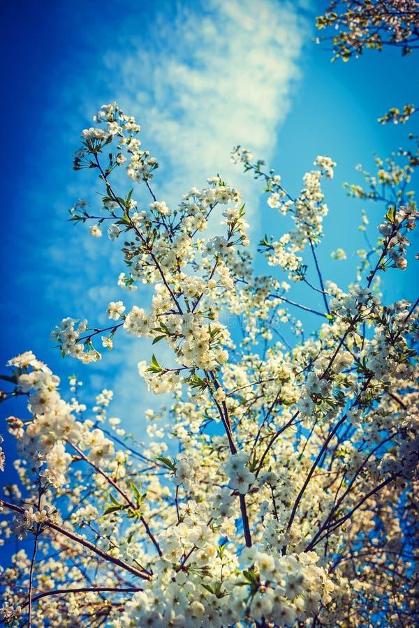 Bllossom czereśniowego drzewa inatagram przełaz fotografia royalty free