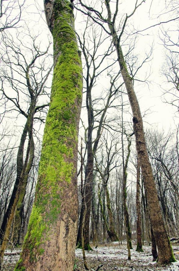 Bloße Bäume des Waldes lizenzfreies stockfoto
