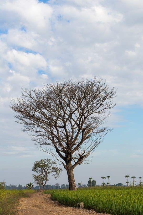 Bloße Laubbäume auf einem Reisfeld lizenzfreie stockbilder