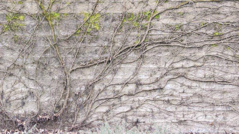 Bloße Reben über Betonblock-Wand lizenzfreie stockbilder