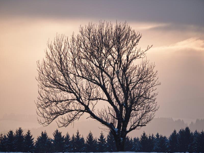 Bloßer Baum an der Dämmerung stockfotografie