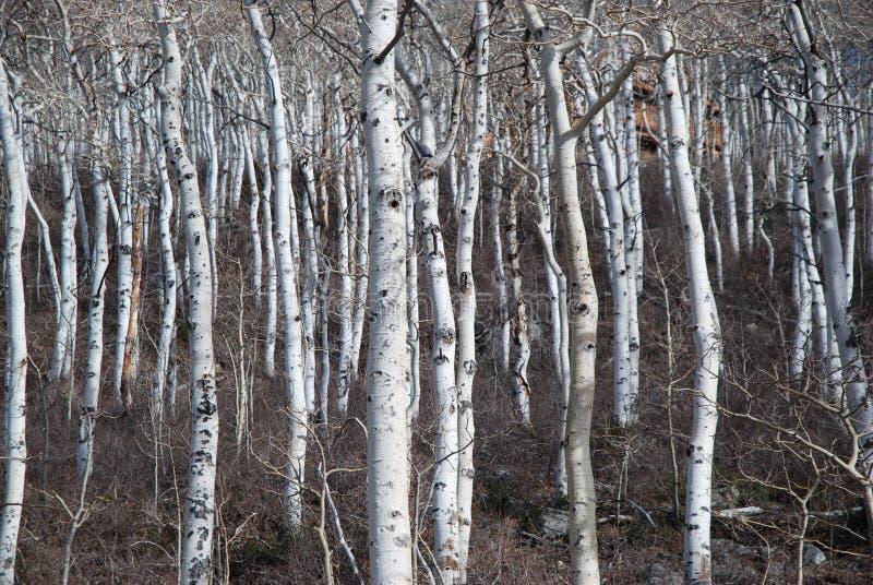 Bloßer, blattloser Aspen-Baum-Standplatz lizenzfreie stockfotografie