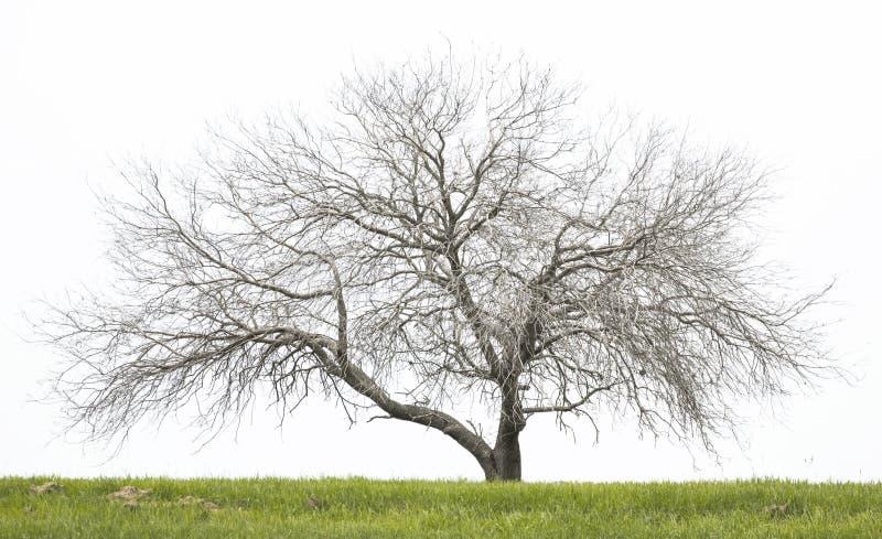 Bloßer Eichenbaum stockfotos