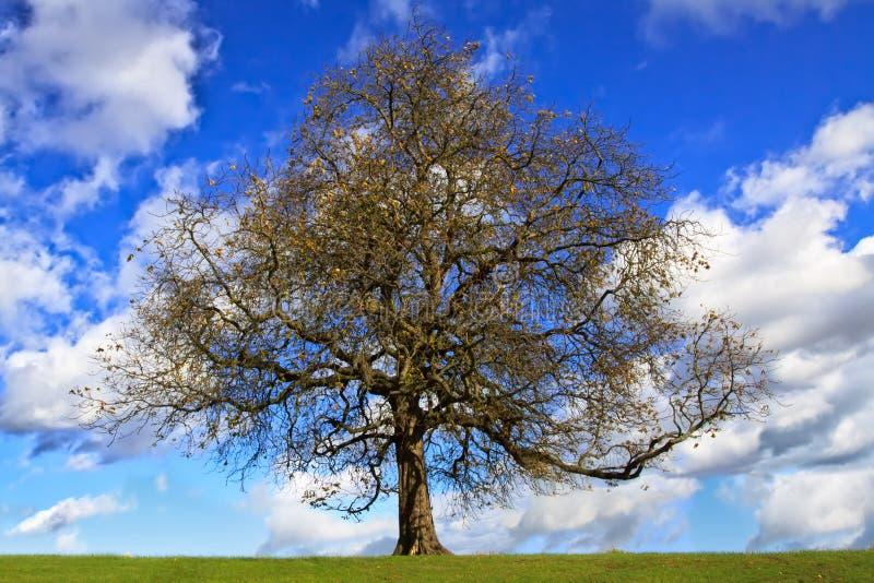 Bloßer Kastaniebaum stockbilder