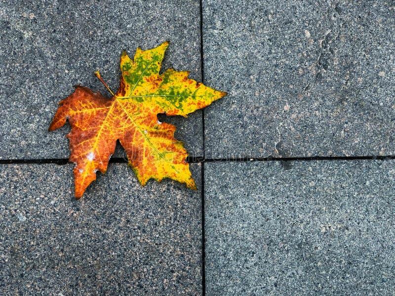 Bloc de briques carrées de Footpath avec de l'érable séché, la belle voie à travers l'environnement naturel Érable jaune séché photos libres de droits