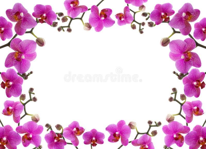 blocco per grafici del primo piano di bella orchidea su Ba bianco fotografia stock libera da diritti