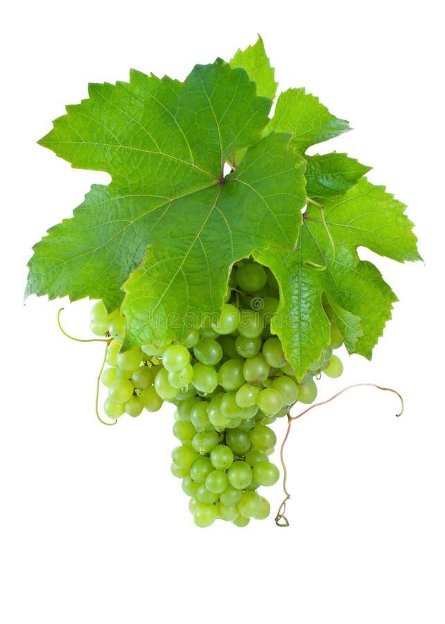 Block der reifen, grünen Trauben. stockbild