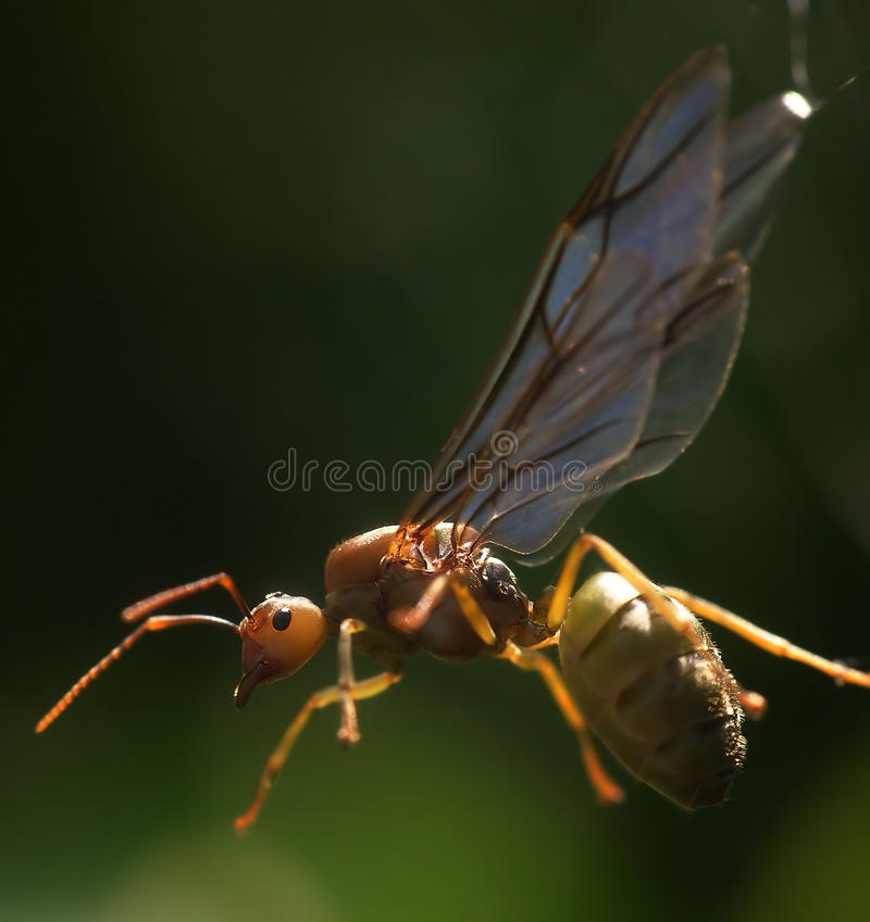 blockerad rengöringsduk för myradrottning spindel arkivfoto