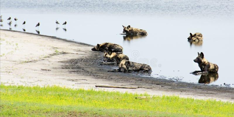 Bloco de cães selvagens em uma lagoa rasa imagem de stock