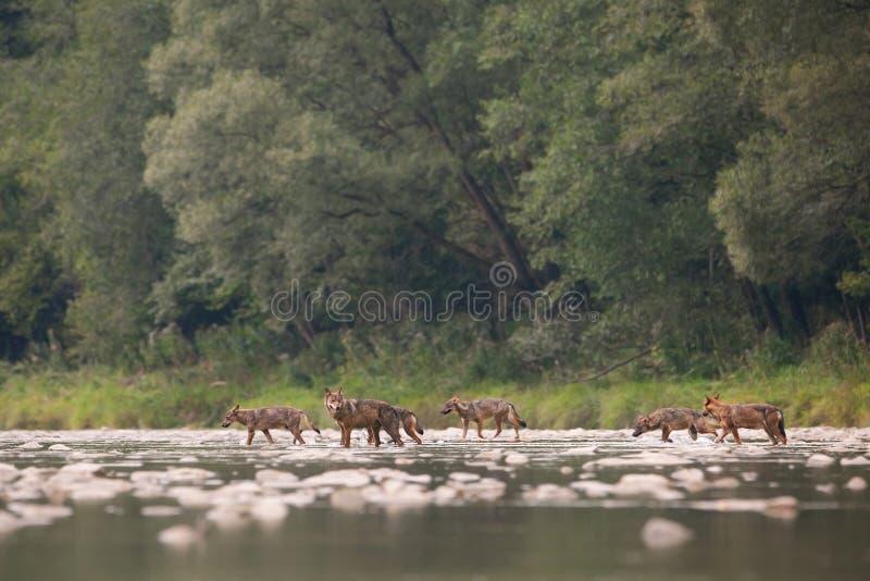 Bloco de lobo do rio sete de cruzamento na região selvagem fotos de stock