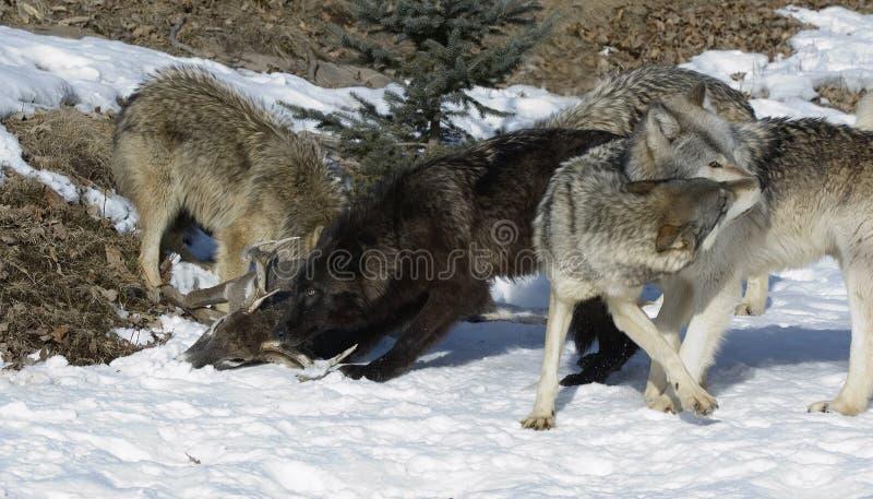 Download Bloco De Lobo Pela Matança Dos Cervos Foto de Stock - Imagem de luta, lobo: 12807408