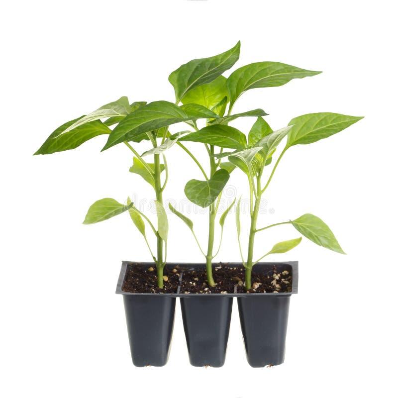 Bloco de três seedlings da pimenta foto de stock
