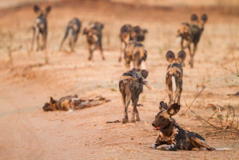 Bloco do cão selvagem que parte fotografia de stock