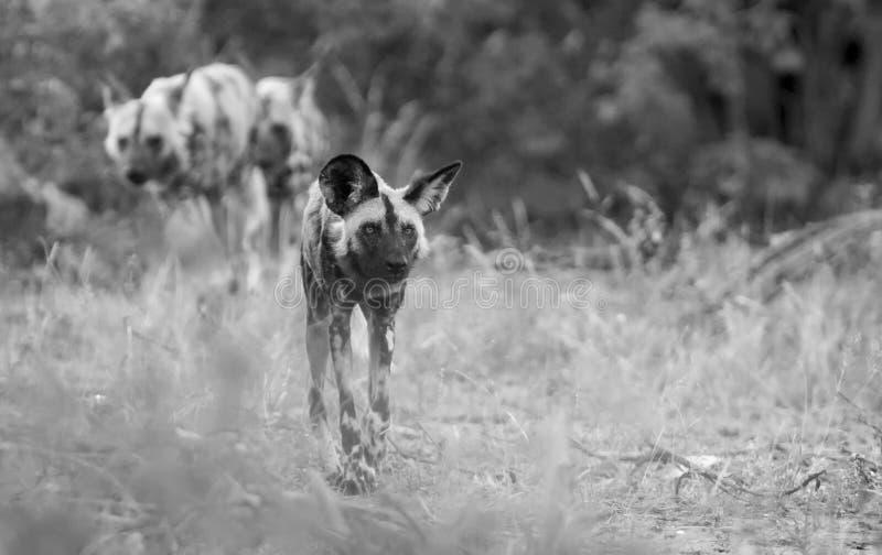 Bloco dos cães selvagens africanos que caçam para o alimento no arbusto no artista fotografia de stock royalty free