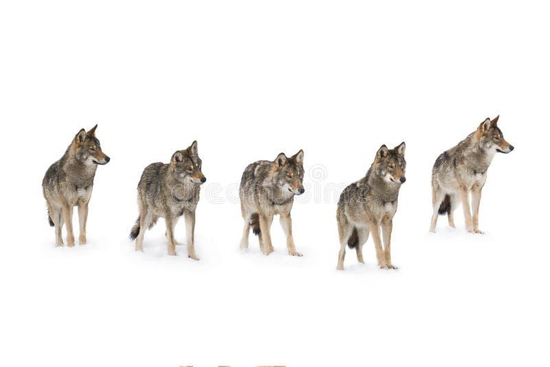 Bloco dos lobos foto de stock royalty free