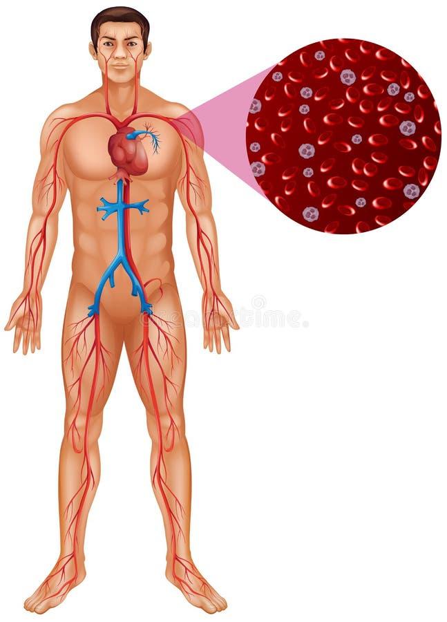 Blodcirkulation i människokropp vektor illustrationer