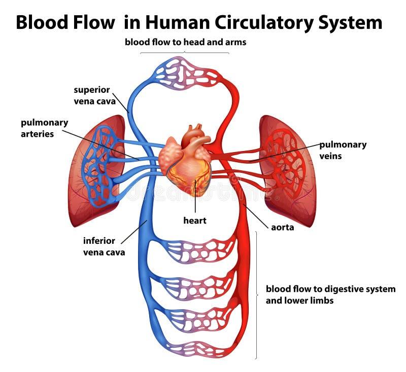 Blodflöde i mänskligt cirkulations- system royaltyfri illustrationer