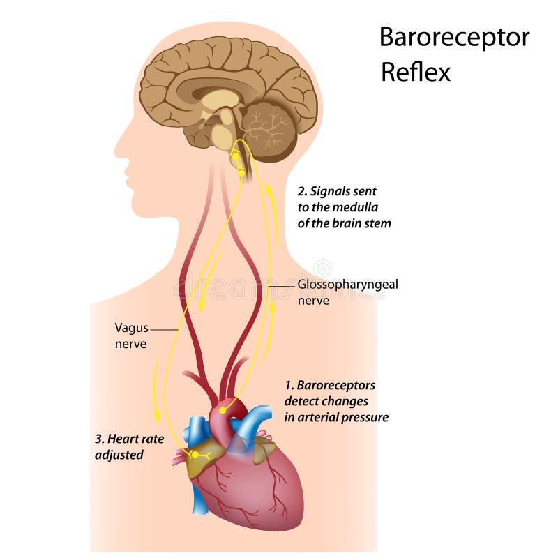 blodtryckreglering stock illustrationer