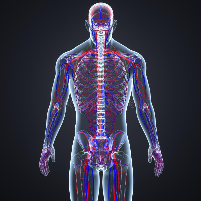 Bloedvat en Lymfeknopen met de Latere mening van het Skeletlichaam vector illustratie